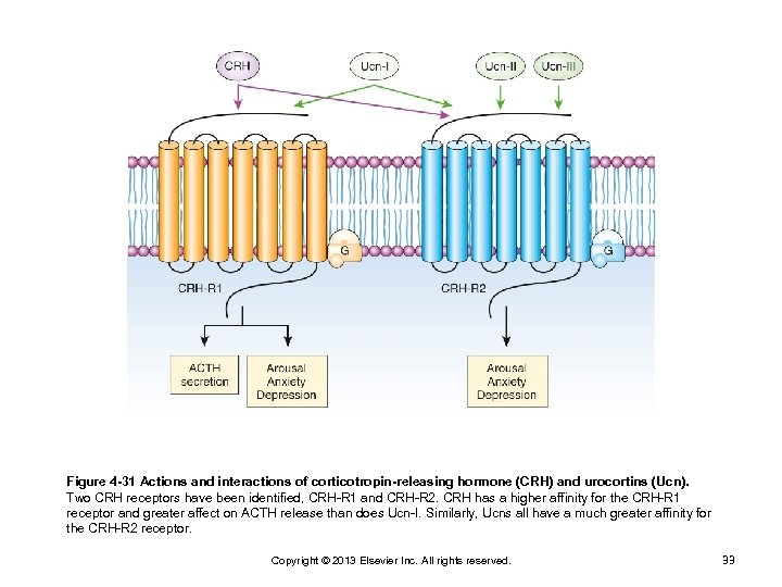 Figure 4 -31 Actions and interactions of corticotropin-releasing hormone (CRH) and urocortins (Ucn). Two