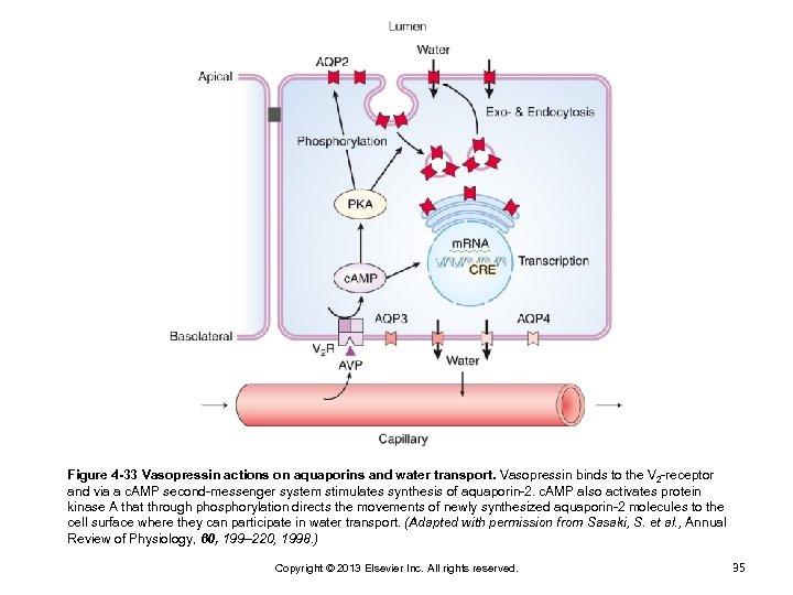 Figure 4 -33 Vasopressin actions on aquaporins and water transport. Vasopressin binds to the