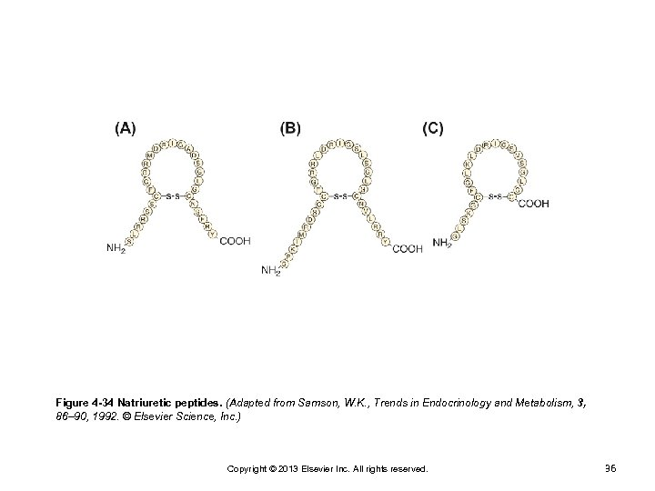 Figure 4 -34 Natriuretic peptides. (Adapted from Samson, W. K. , Trends in Endocrinology