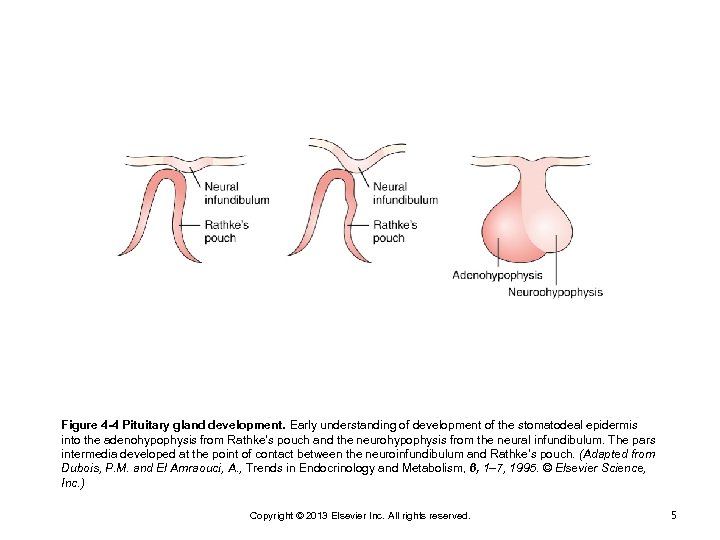 Figure 4 -4 Pituitary gland development. Early understanding of development of the stomatodeal epidermis