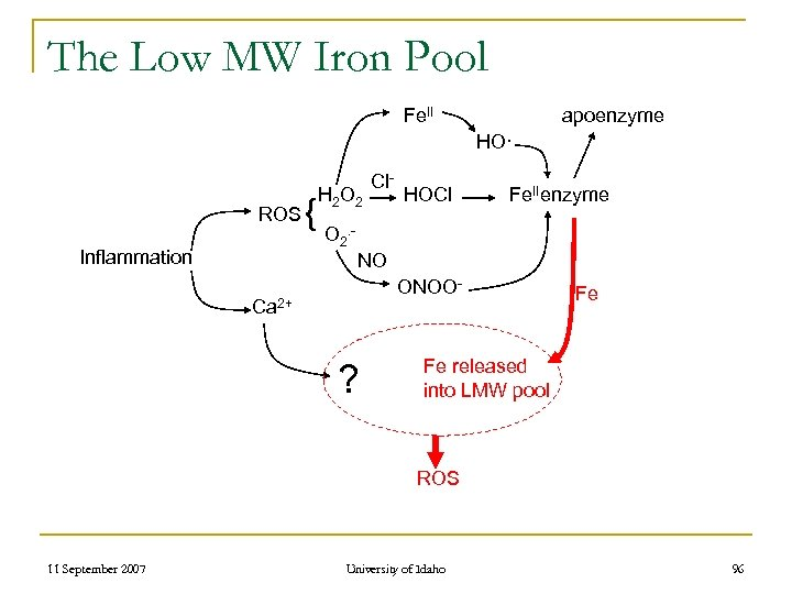 The Low MW Iron Pool Fe. II apoenzyme HO· ROS Inflammation { H 2