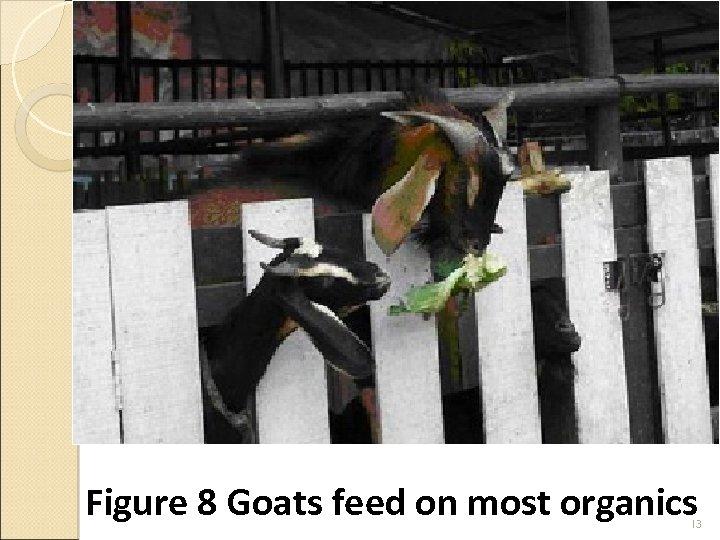 Figure 8 Goats feed on most organics 13
