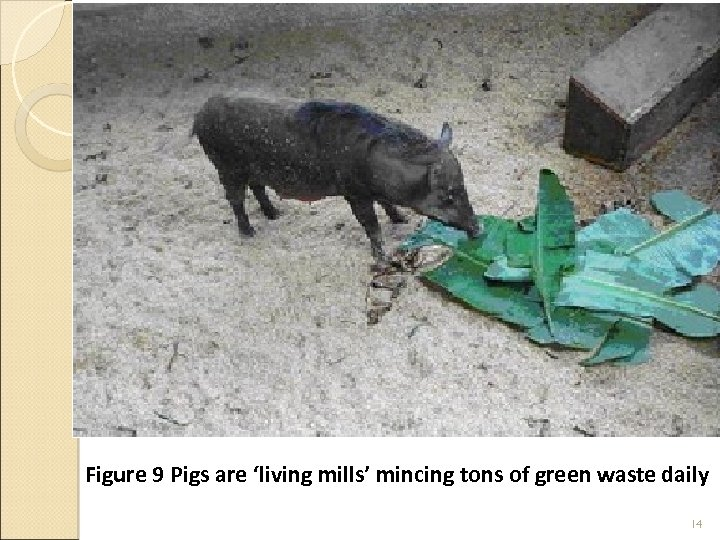Figure 9 Pigs are 'living mills' mincing tons of green waste daily 14