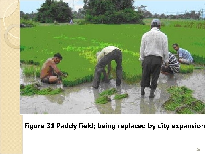 Figure 31 Paddy field; being replaced by city expansion 38