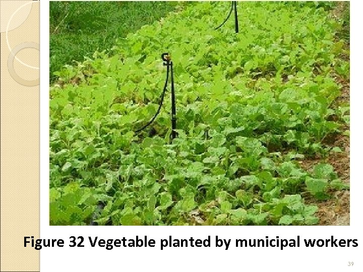 Figure 32 Vegetable planted by municipal workers 39