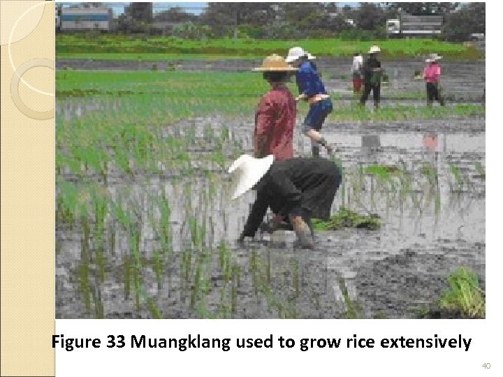 Figure 33 Muangklang used to grow rice extensively 40