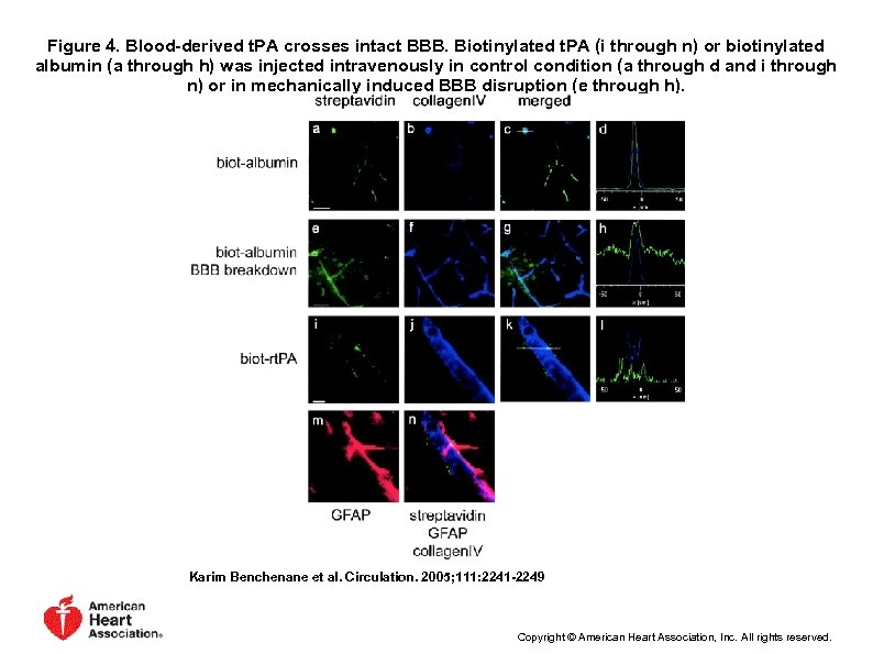 Figure 4. Blood-derived t. PA crosses intact BBB. Biotinylated t. PA (i through n)