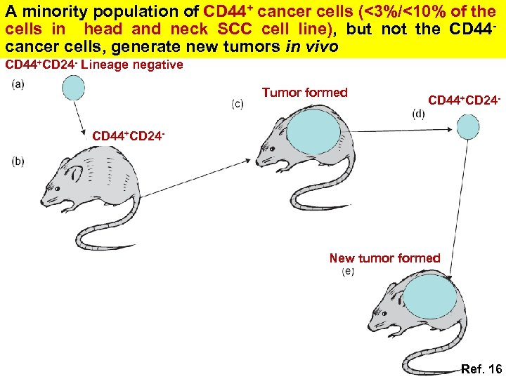 A minority population of CD 44+ cancer cells (<3%/<10% of the cells in head