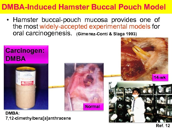 DMBA-Induced Hamster Buccal Pouch Model • Hamster buccal-pouch mucosa provides one of the most