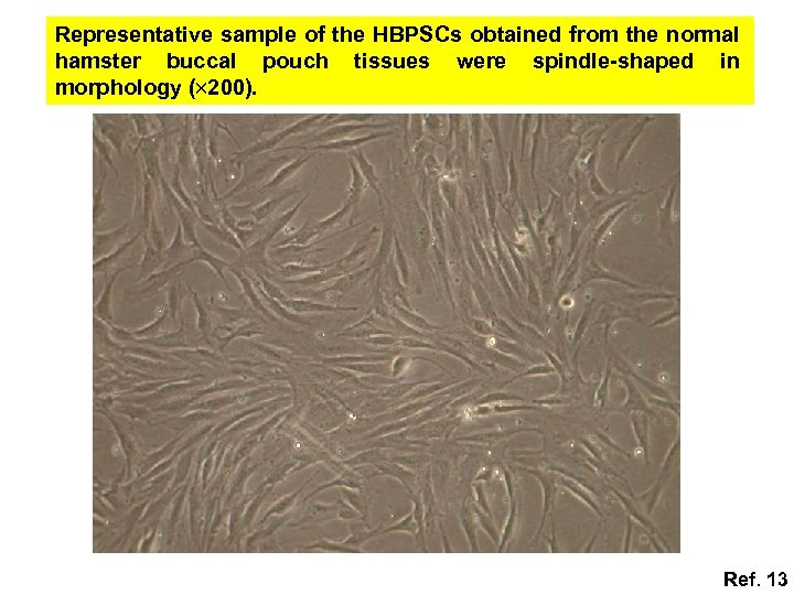 Representative sample of the HBPSCs obtained from the normal hamster buccal pouch tissues were