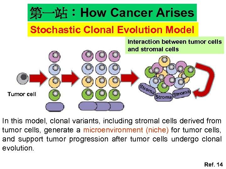 第一站:How Cancer Arises Stochastic Clonal Evolution Model Interaction between tumor cells and stromal cells