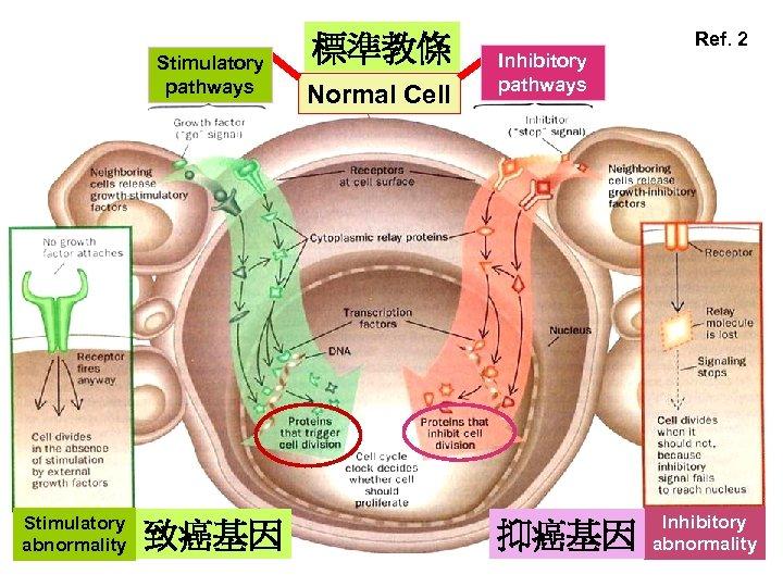Stimulatory pathways Stimulatory abnormality 致癌基因 標準教條 Normal Cell Ref. 2 Inhibitory pathways 抑癌基因 Inhibitory