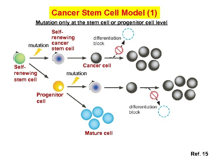 Cancer Stem Cell Model (1) Mutation only at the stem cell or progenitor cell