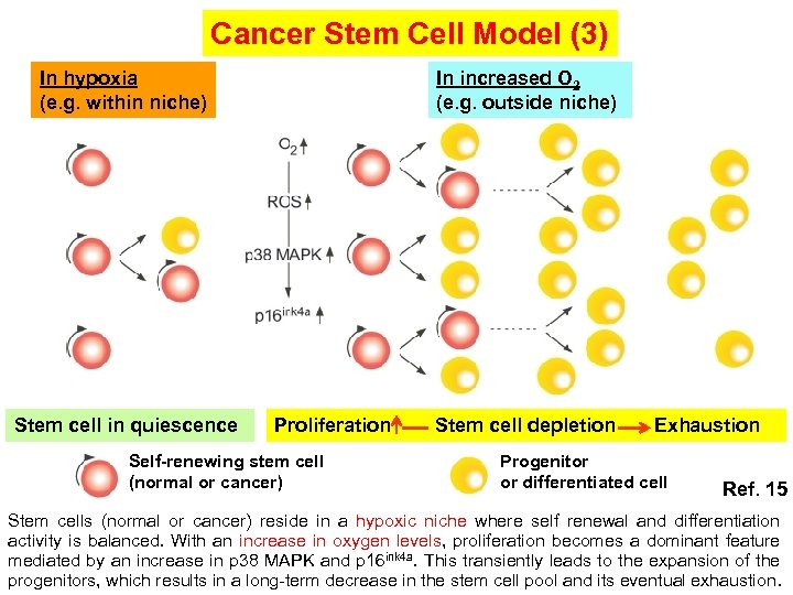 Cancer Stem Cell Model (3) In increased O 2 (e. g. outside niche) In
