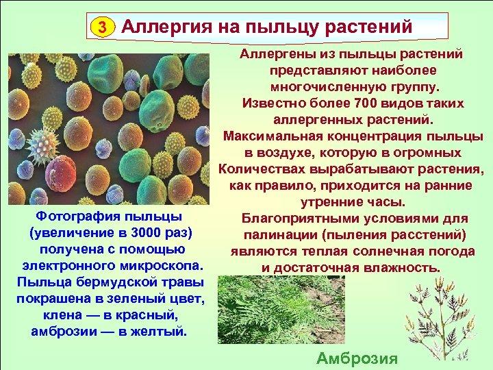 3 Аллергия на пыльцу растений Фотография пыльцы (увеличение в 3000 раз) получена с помощью