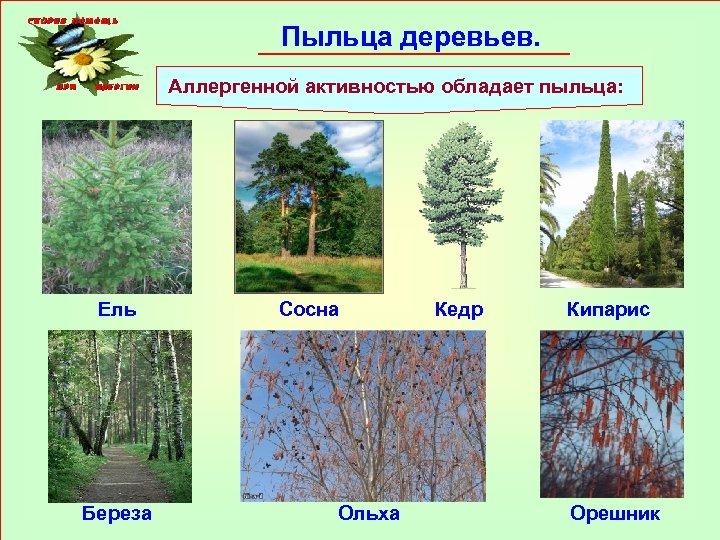 Пыльца деревьев. Аллергенной активностью обладает пыльца: Ель Береза Сосна Ольха Кедр Кипарис Орешник