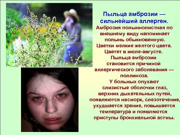 Пыльца амброзии — сильнейший аллерген. Амброзия полыннолистная по внешнему виду напоминает полынь обыкновенную. Цветки