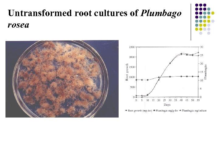 Untransformed root cultures of Plumbago rosea
