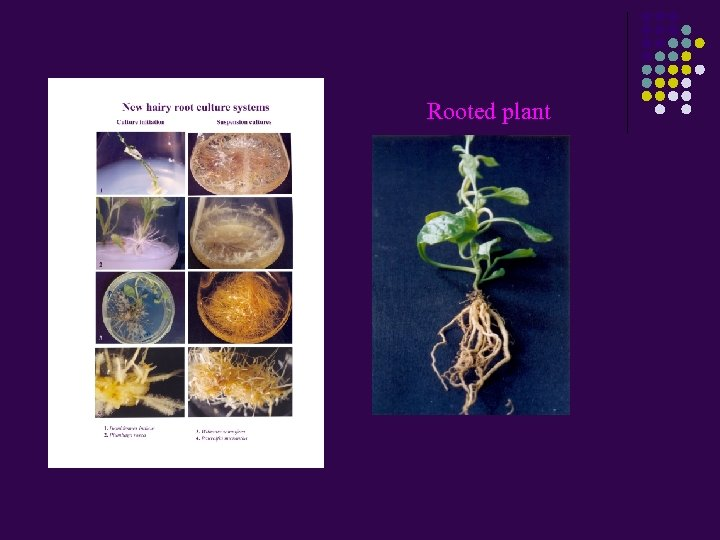 Rooted plant