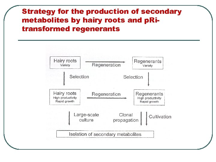 Strategy for the production of secondary metabolites by hairy roots and p. Ritransformed regenerants