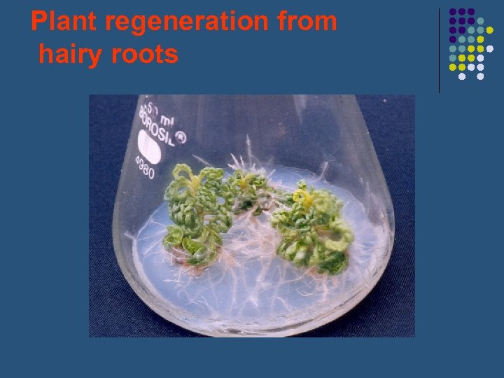 Plant regeneration from hairy roots