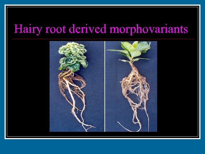 Hairy root derived morphovariants