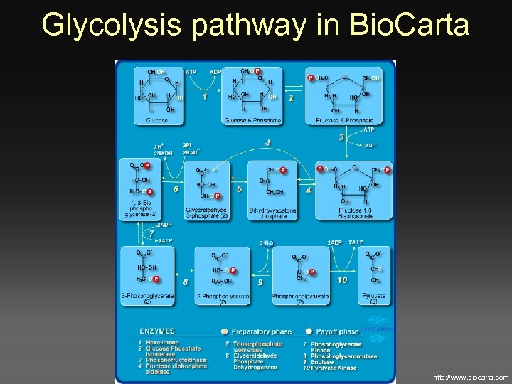 Glycolysis pathway in Bio. Carta http: //www. biocarta. com