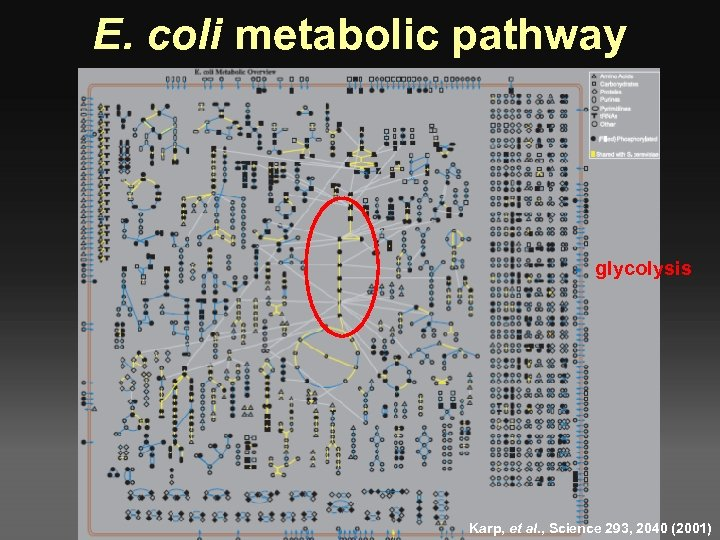 E. coli metabolic pathway glycolysis Karp, et al. , Science 293, 2040 (2001)