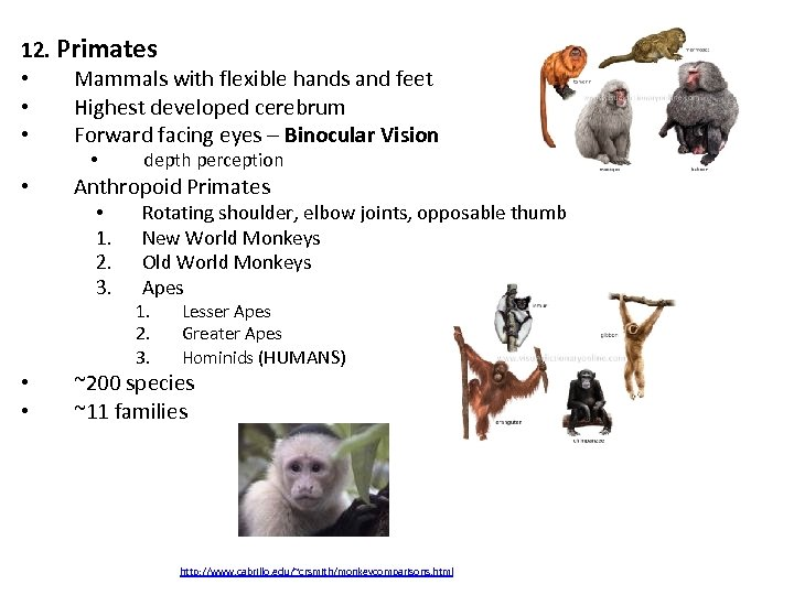 12. Primates • Mammals with flexible hands and feet • Highest developed cerebrum •