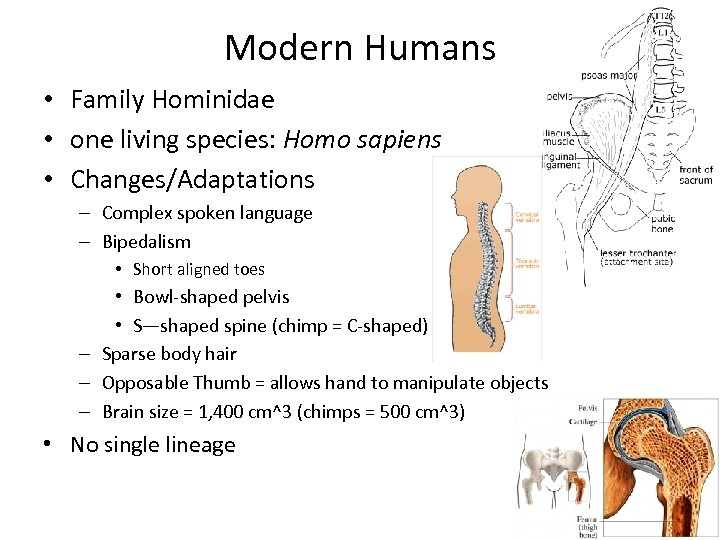 Modern Humans • Family Hominidae • one living species: Homo sapiens • Changes/Adaptations –