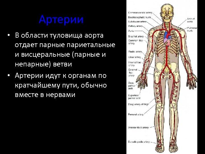 Артерии • В области туловища аорта отдает парные париетальные и висцеральные (парные и непарные)