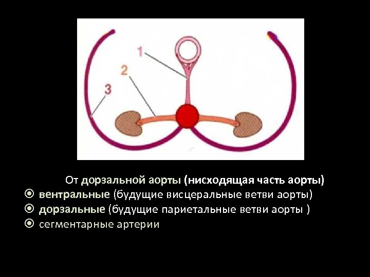 От дорзальной аорты (нисходящая часть аорты) вентральные (будущие висцеральные ветви аорты) дорзальные (будущие париетальные