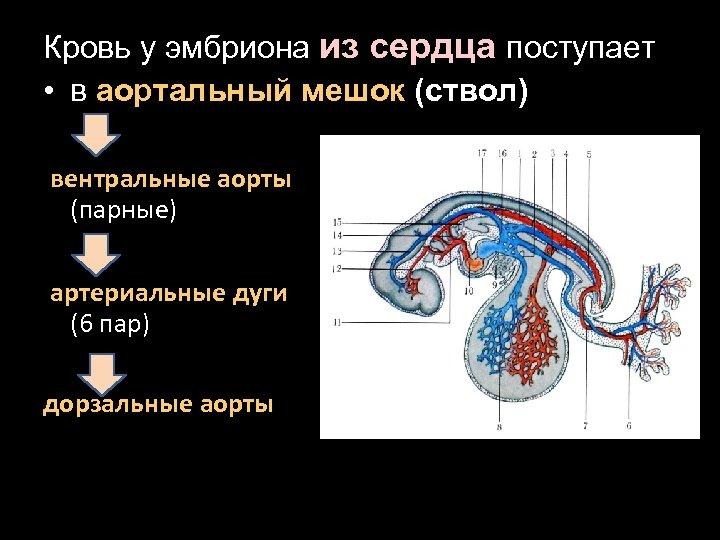 Кровь у эмбриона из сердца поступает • в аортальный мешок (ствол) вентральные аорты (парные)
