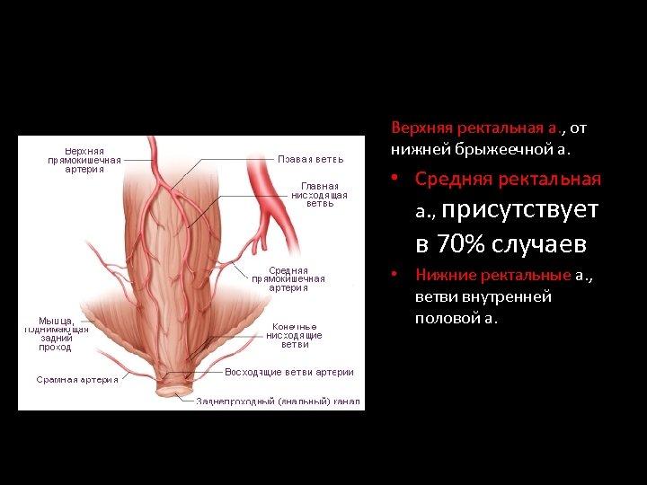 Верхняя ректальная а. , от нижней брыжеечной а. • Средняя ректальная а. , присутствует