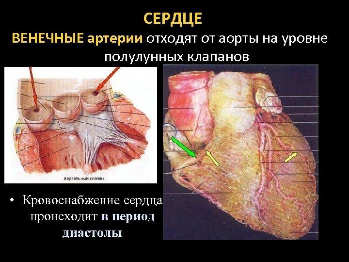 СЕРДЦЕ ВЕНЕЧНЫЕ артерии отходят от аорты на уровне полулунных клапанов • Кровоснабжение сердца происходит