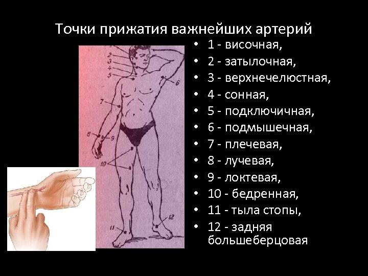 Точки прижатия важнейших артерий • • • 1 - височная, 2 - затылочная, 3