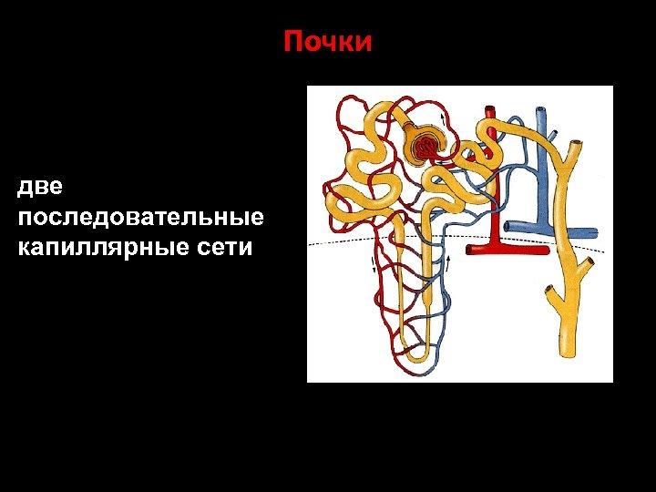 Почки две последовательные капиллярные сети