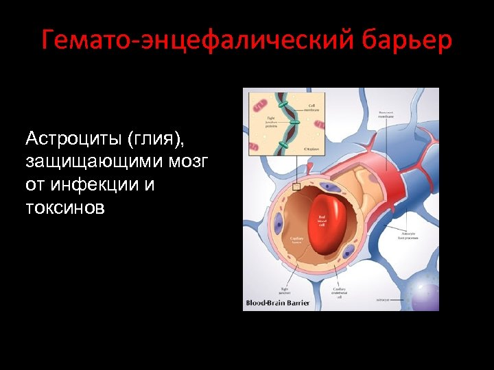 Гемато-энцефалический барьер Астроциты (глия), защищающими мозг от инфекции и токсинов