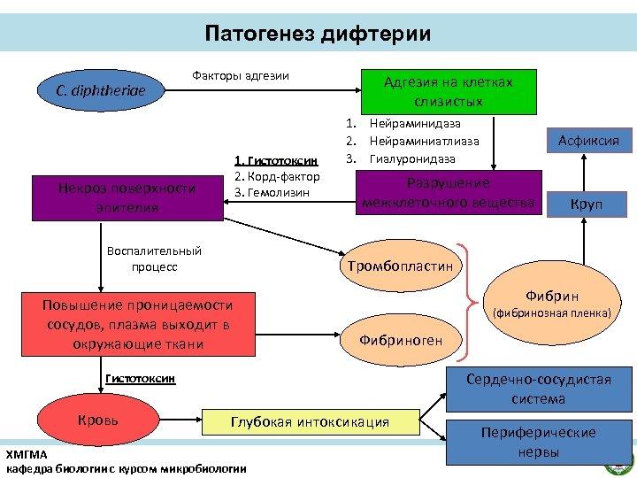 Патогенез дифтерии С. diphtheriae Факторы адгезии 1. Гистотоксин 2. Корд-фактор 3. Гемолизин Некроз поверхности