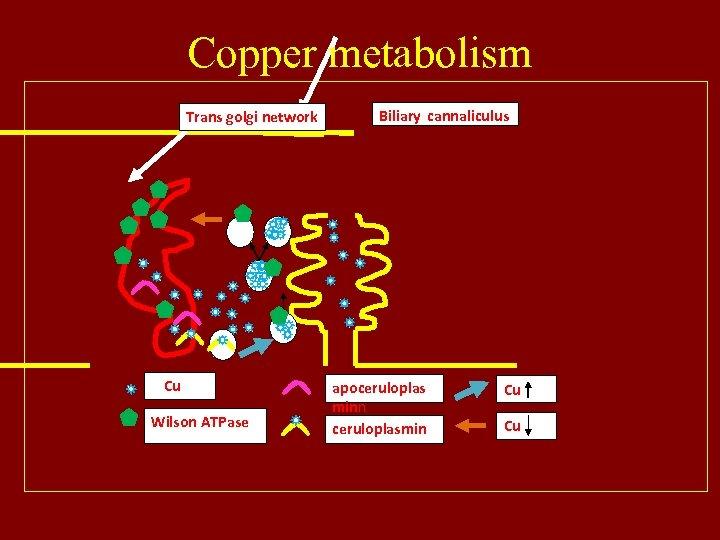 Copper metabolism Trans golgi network Cu Wilson ATPase Biliary cannaliculus apoceruloplas minn ceruloplasmin Cu