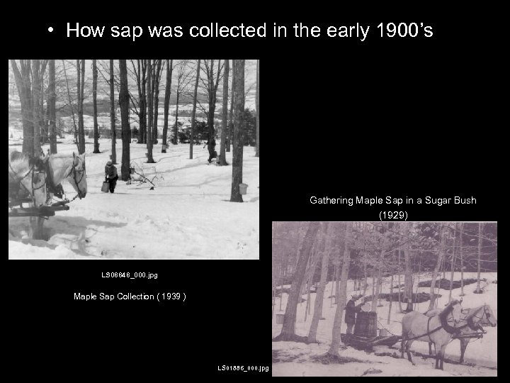 • How sap was collected in the early 1900's Gathering Maple Sap in