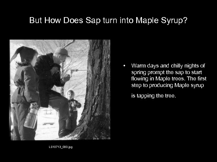 But How Does Sap turn into Maple Syrup? • Warm days and chilly nights