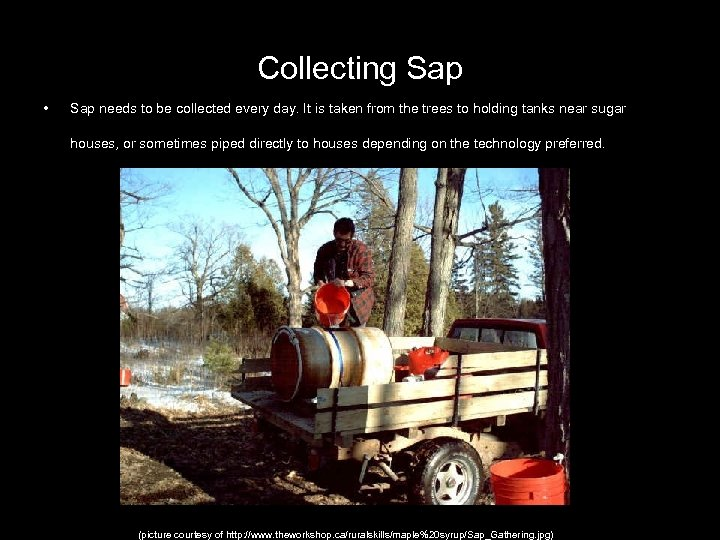 Collecting Sap • Sap needs to be collected every day. It is taken from