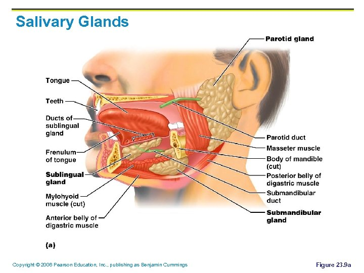 Salivary Glands Copyright © 2006 Pearson Education, Inc. , publishing as Benjamin Cummings Figure
