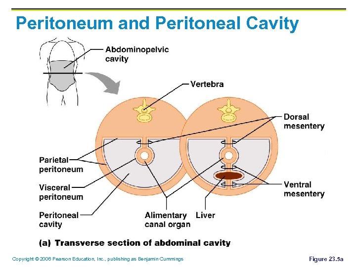 Peritoneum and Peritoneal Cavity Copyright © 2006 Pearson Education, Inc. , publishing as Benjamin