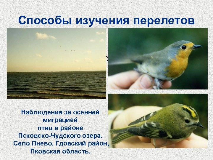 Способы изучения перелетов • Кольцевание • Наблюдение на пролетах • Радиолокация Наблюдения за осенней