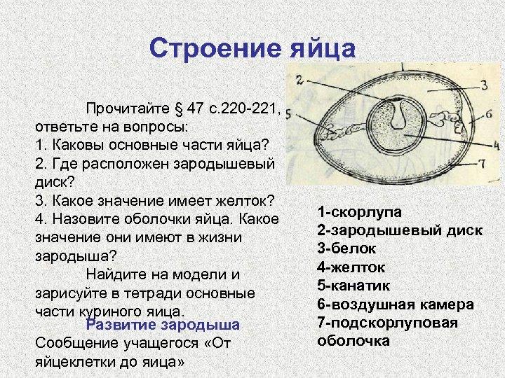 Строение яйца Прочитайте § 47 с. 220 -221, ответьте на вопросы: 1. Каковы основные