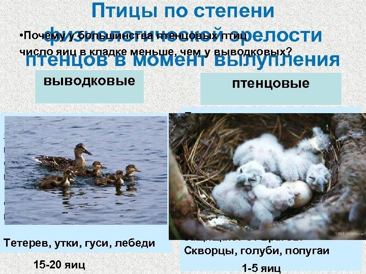 Птицы по степени • Почему у большинства птенцовых птиц физиологической зрелости число яиц в