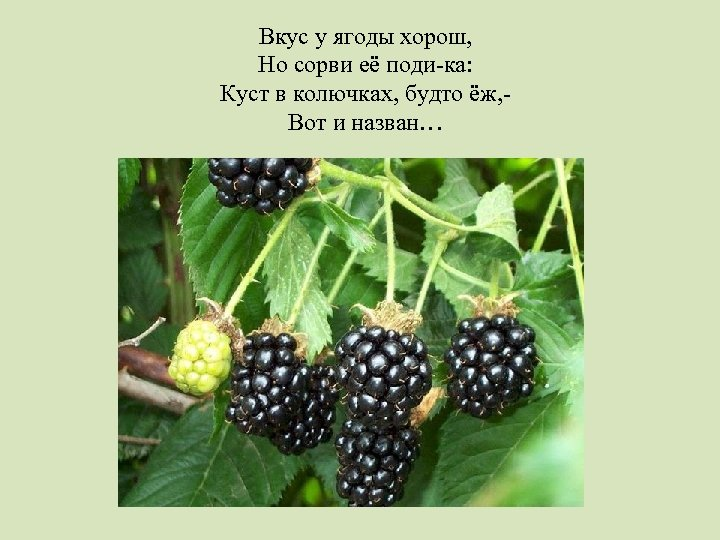 Вкус у ягоды хорош, Но сорви её поди-ка: Куст в колючках, будто ёж, Вот