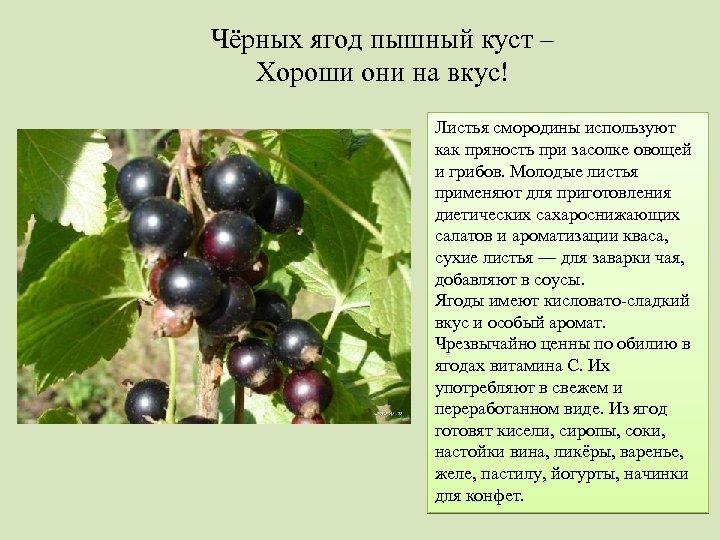 Чёрных ягод пышный куст – Хороши они на вкус! Листья смородины используют как пряность